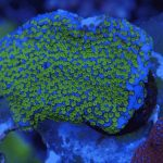 coral frags online